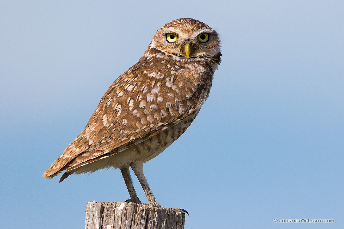 A burrowing owl watches for prey on the Oglala Grasslands from a fencepost.