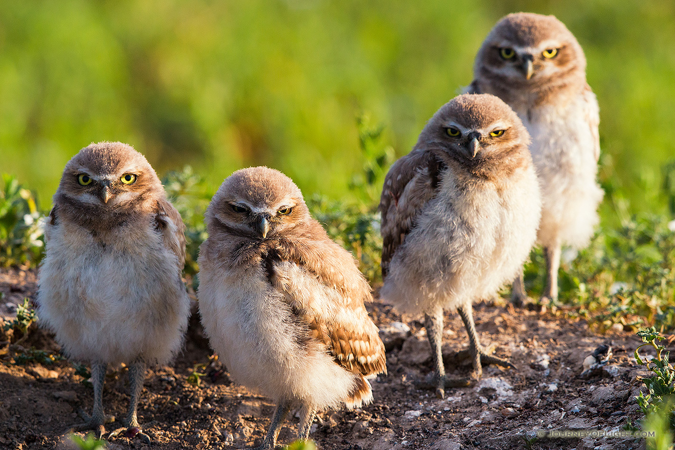 Four burrowing owlets look on in curiosity just outside their home in a prairie dog town in Badlands National Park, South Dakota.