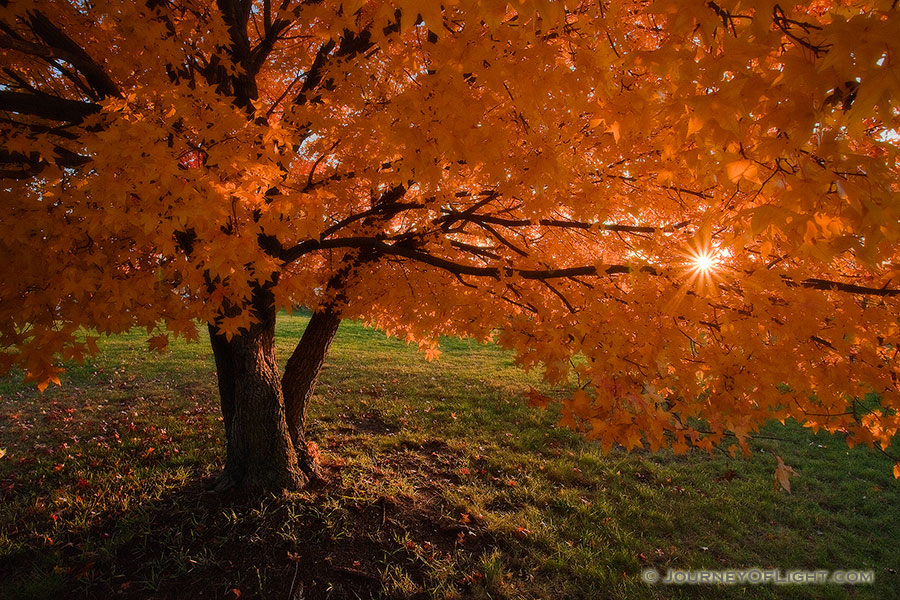 A maple tree bursts forth into glorious autumn colors while the setting sun shines through the leaves. - DeSoto Photography