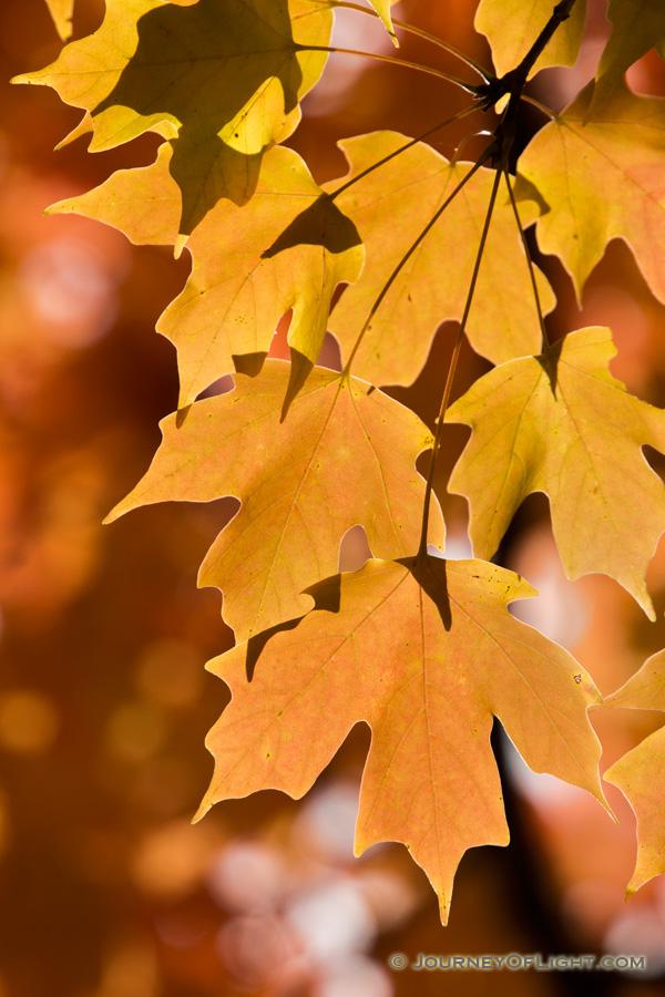 Late afternoon sunlight illuminates autumn maple leaves at Arbor Day Lodge State Park in Nebraska City, Nebraska.