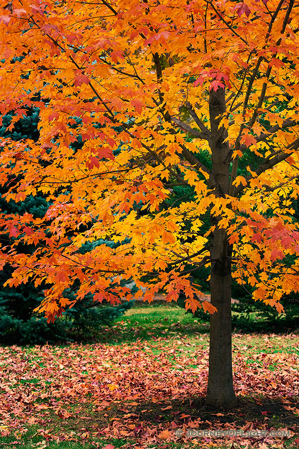 An maple tree turns fiery red and orange in the Autumn at Arbor Day Lodge State Park in Nebraska City, Nebraska. - Arbor Day Lodge SP Photography